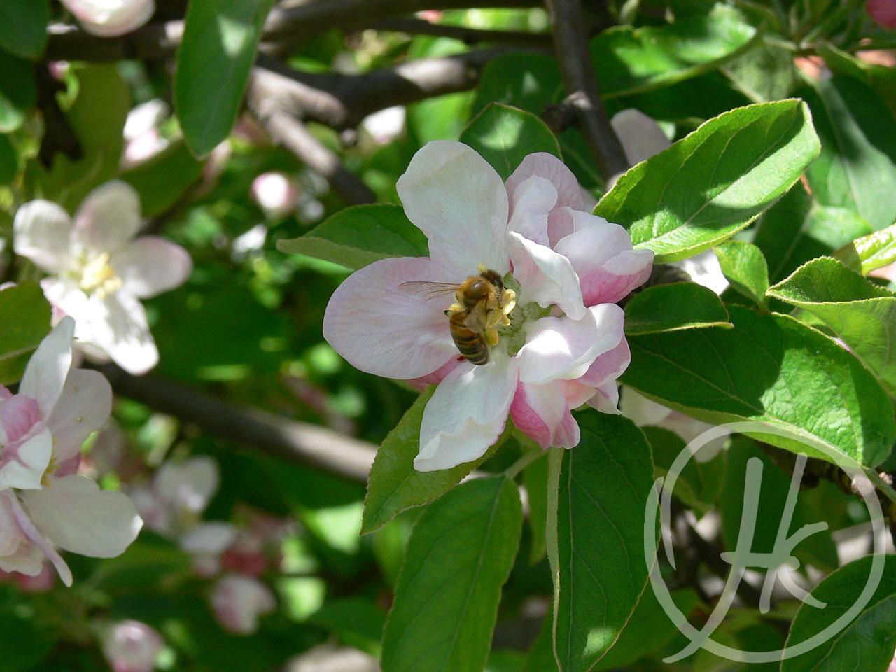 Blomsten og bien